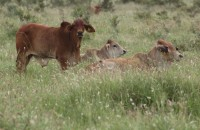 ALC Cows and Calves