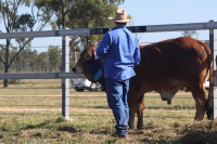 ALC Bull purchased by new ALC client Scott Harrington, enjoying a scratch by Craig Hurford